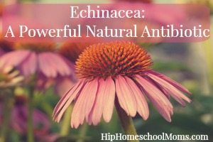 Echinacea: A Powerful Natural Antibiotic