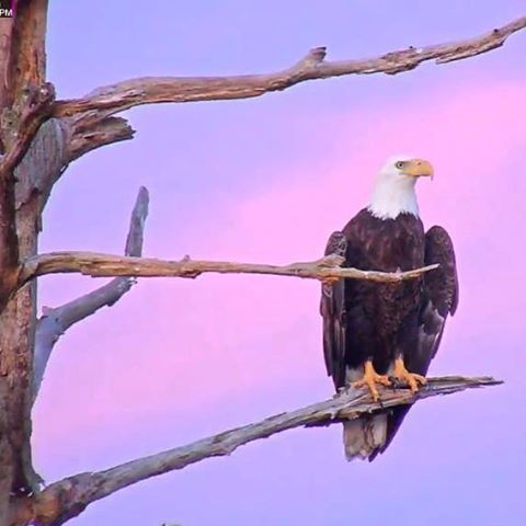 Bald Eagle is Hatching Eggs Live Webcam and a Free Printable!