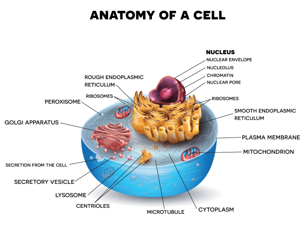 anatomy of an animal cell image collections human anatomy learning