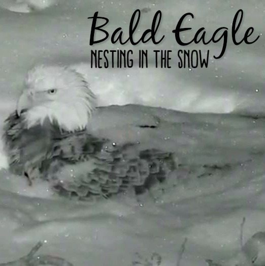 Bald Eagle Nesting in the Snow